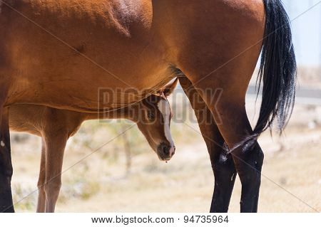 Brown Horse With A Foal