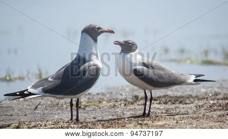 Laughing Gulls - A Serious Discussion