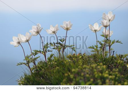 White flowers Anemone patens in a mountain meadow