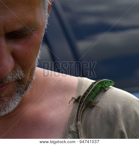 European green lizard on man shoulder - Lacerta viridis