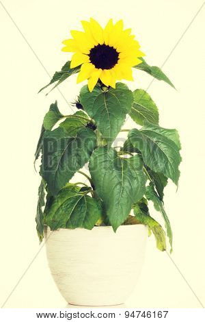Sunflower in a pot with full of leafs