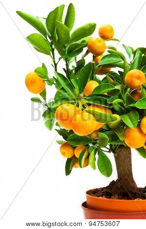 tangerine tree in pot on a white background