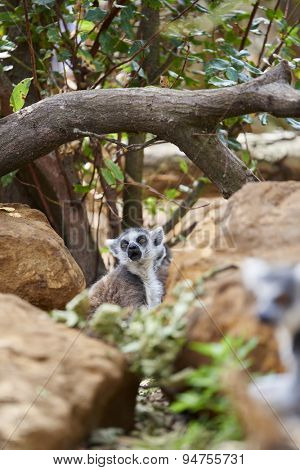 A lemur amongst rocks and greenery