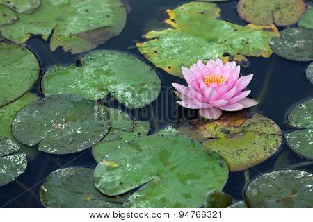 Water lilly infested with pest