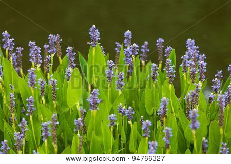 Violet blue Pontederia flowers growing by the lake. Plant is also known as Blue Pickerel weeds. It is found in shallow water or on mud.