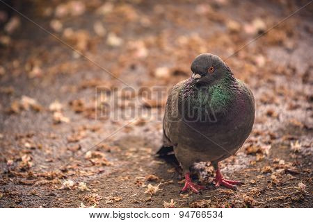 Gray Pigeon Standing On The Ground
