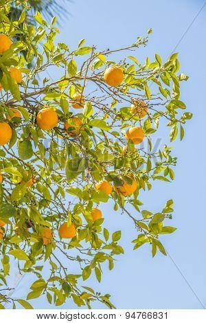 Oranges on tree, Morocco