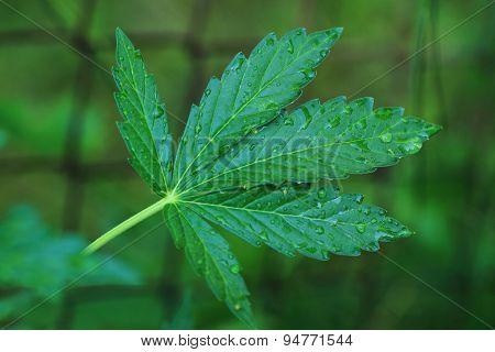 Marijuana Plant And Water
