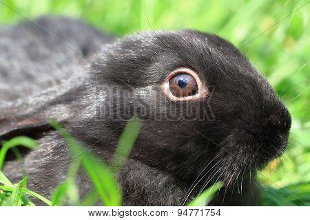 Black Rabbit In Grass