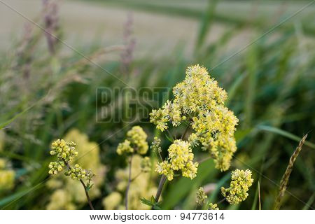 Blooming Yellow Meadow Rue From Close