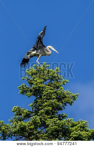 Heron On Tree Flaps Wings.