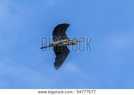 Blue Heron In Flight.