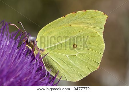 Colias butterfly.