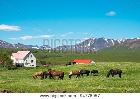 Icelandic farm with horses