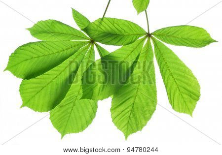 green leaves of chestnut tree isolated