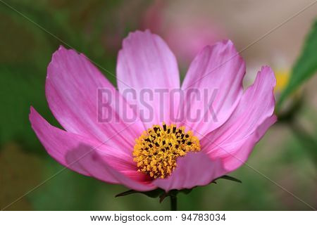 Cosmos flowers in the garden