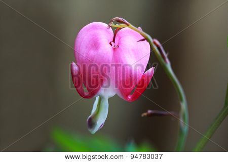 Dicentra spectabilis- The broken heart