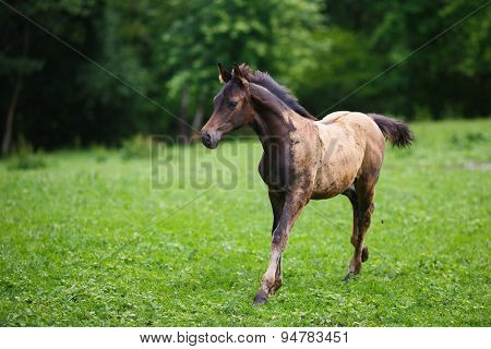 Running Young Foal