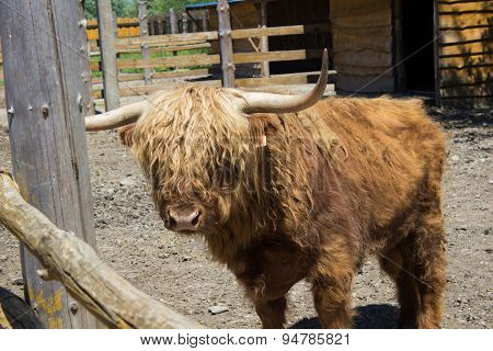 Scottish Bull On A Farm
