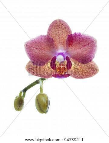 red orchid flower isolated on white