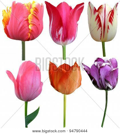 Set Of 6 Tulips Isolated On White Background