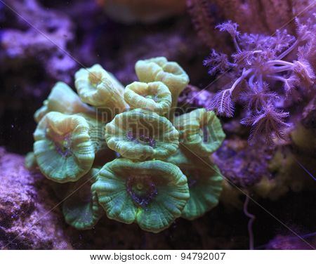 Caulastrea Coral