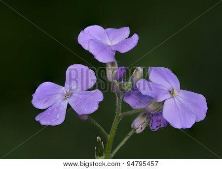 Dame's Rocket Flower