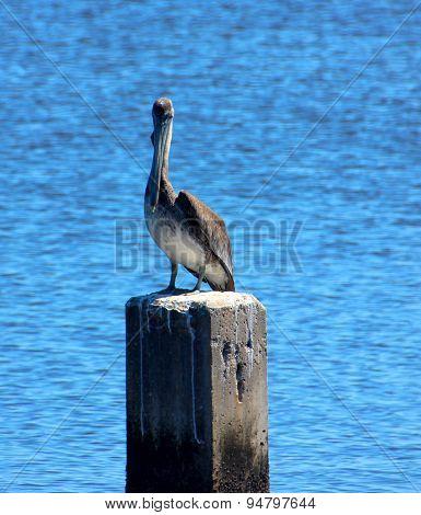 Pelican Standing