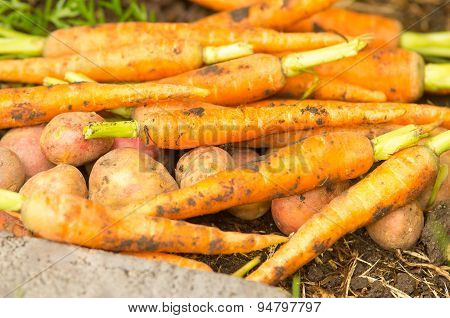 Carrots and potatoes in a pile
