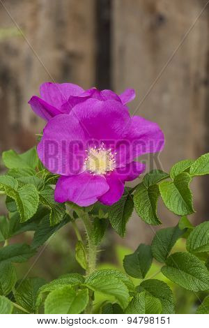 Pink Wild Rose Flowers During The Flowering