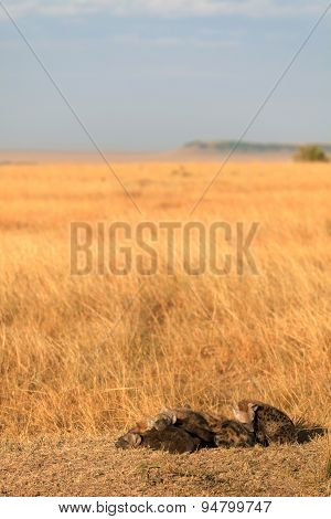 Spotted Hyenas, Masai Mara