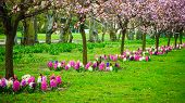 stock photo of row trees  - Pink cherry trees in a row alley - JPG