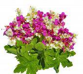 stock photo of geranium  - Geranium flowers and leaves on white background - JPG