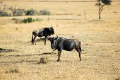 stock photo of veld  - Standing wildebeest antelopes in Masai Mara - JPG