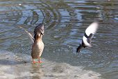 stock photo of duck pond  - Ducks in a pond in winter park - JPG