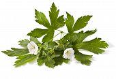 image of geranium  - white geranium flower on a white background  - JPG