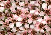 Australian Native Spring Flowers Leptospernum Pink Cascade