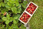 stock photo of strawberry plant  - full basket of strawberries on lawn and strawberry plants - JPG