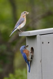 image of bluebird  - Male and Female Eastern Bluebirds  - JPG