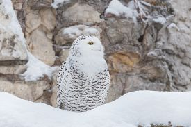 pic of snow owl  - White owl or snowy owl in the snow - JPG