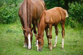 stock photo of feeding horse  - Foal horse with her mother on the meadow at summer time - JPG