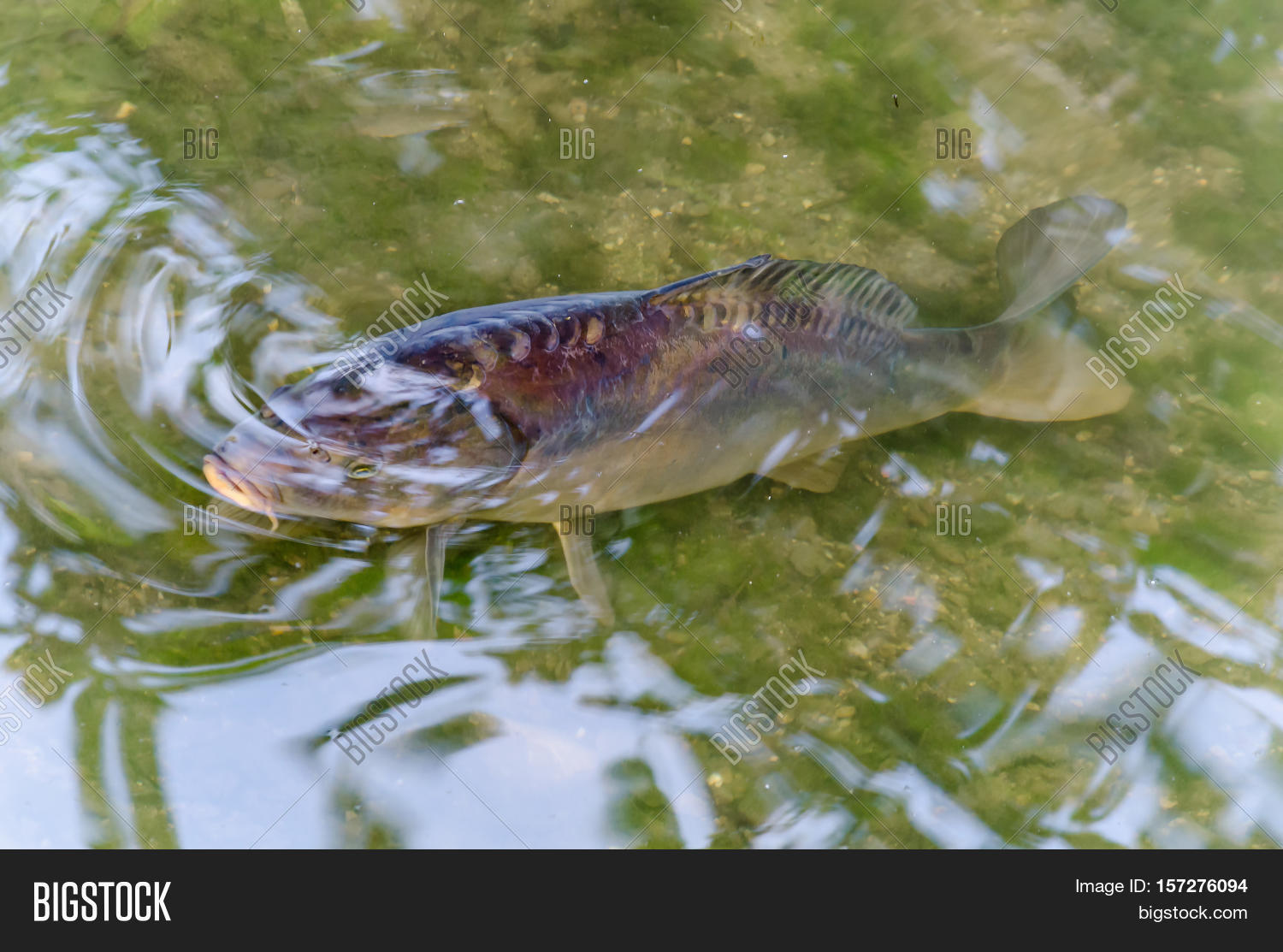 Carp koy koi carp fish in a pond with views of the green water stock photo stock images Green fish pond water