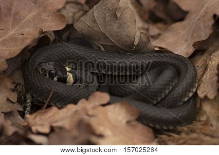 Grass snake, also known as ringed snake or water snake, (Natrix natrix) curled up among dry oak (Quercus robur) leaves. Photo taken in early spring outside Uppsala, Sweden.