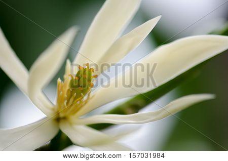 White Chempaka white bloom on the beautiful aroma.
