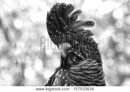 Close up of a red-tailed black cockatoo in black and White
