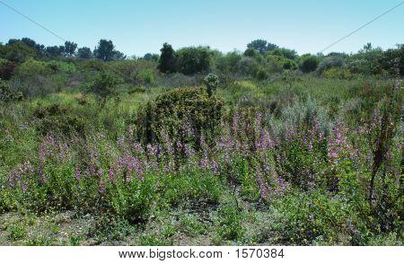 field of purple flowers in desert