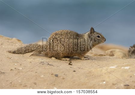 California ground squirrel on sandy ground near beach