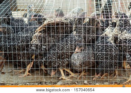 Chickens in a cage. Birds in a cage. Bird's farm.