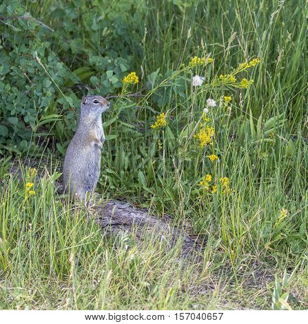 Unita ground squirrel on log with yellow flowers and grass in the Tetons