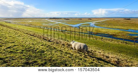 Backlit image of one lone sheep walking away on an embankment along a flooded nature reserve next to a Dutch estuary. It's a sunny day in the end of the winter season.